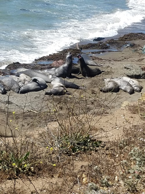 ELEPHANT SEALS along Pacific HWY California